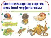 Моллюскалардың сыртқы және ішкі морфологиясы Моллюскалар типі