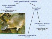 Класс Млекопитающие — Mammalia П класс Первозвери Prototheria П класс