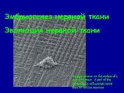 Эмбриогенез нервной ткани Эволюция нервной ткани A single