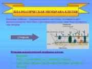 ПЛАЗМАТИЧЕСКАЯ МЕМБРАНА КЛЕТКИ Клеточная мембрана ультрамикроскопическая плёнка