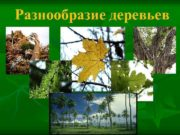 Разнообразие деревьев Мелколиственные деревья Береза повислая Ольха