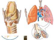 Строение легких Легочное и тканевое дыхание