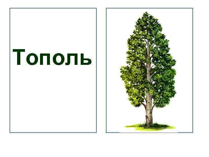 тополь дерево картинка для всех