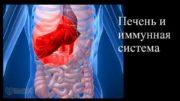 Печень и иммунная система Печень выполняет важные