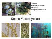 только многоклеточные обычно макроскопические Класс Fucophyceae Класс