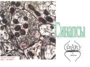 Аксоны (выносящие возбуждение отростки) у большинства нейронов подходя