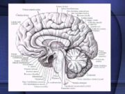 Продолговатый мозг Средний мозг