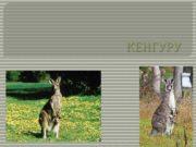 КЕНГУРУ Кенгуру род сумчатых млекопитающих