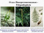 Отдел Папоротниковидные Polypodiophyta http kareth com systematik html botrlun 4 html