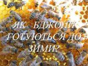 ЯК БДЖОЛИ ГОТУЮТЬСЯ ДО ЗИМИ Бджола має