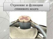 Строение и функции спинного мозга Спинной мозг