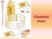 Спинной мозг Топография спинного мозга расположен в