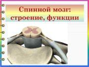 Спинной мозг строение функции Спинной мозг расположен