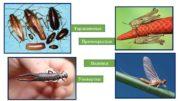 Таракановые Прямокрылые Поденки Уховертки Стрекоза Вошь Жуки
