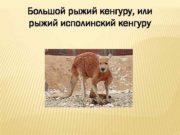 Большой рыжий кенгуру или рыжий исполинский кенгуру