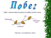 Строение Цветковых растений Стебель Функции стебля