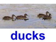 ducks Mallard Mandarin duck Wood duck Yellow-billed duck