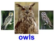 owls Barn owl Snowy owl Long-eared owl Western