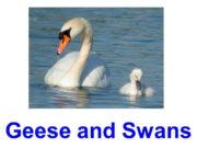 Geese and Swans Mute swan Trumpeter swan Whooper