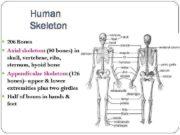 Human Skeleton 206 Bones Axial skeleton 80 bones