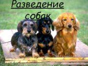 Разведение собак Породы собак Австралийская овчарка