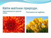 Квіти матінки природи Харезантеми це чудесні квіти Тюльпани