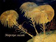 Морские лилии Морские лилии — донные животные
