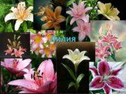 Лилия Лилия род растений семейства Лилейные