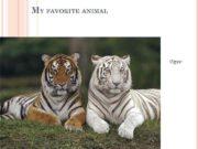 MY FAVORITE ANIMAL tiger The tiger