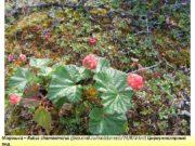 Морошка Rubus chamaemorus foto mail ru mail cmeriii 74 87 html