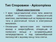 Тип Споровики — Apicomplexa Общая характеристика У