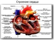 Строение сердца 1 Генератор давления и расхода