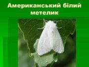 Американський білий метелик Американський білий метелик HYPHANTRIA