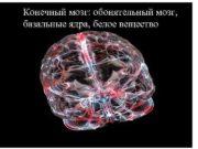Конечный мозг обонятельный мозг базальные ядра белое вещество