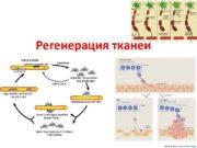 Регенерация тканей ПЛАН Понятие о регенерации