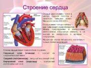Строение сердца Сердце расположено почти в центре грудной