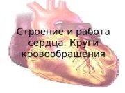 Строение и работа сердца. Круги кровообращения  Расположение