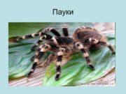 Пауки Пауки не насекомые Они принадлежат