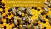 Одомашненные насекомые медоносные пчелы Медоносные пчелы живут
