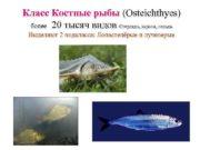 Класс Костные рыбы Osteichthyes более 20 тысяч видов