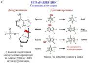 41 РЕПАРАЦИЯ ДНК Спонтанные мутации Депуринизация Дезаминирование В
