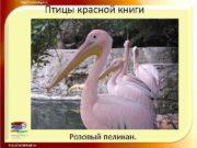 Птицы красной книги Розовый пеликан Птицы красной