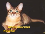 Презентация Абиссинская кошка
