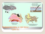 Анализаторы и органы чувств.  Строение анализатора