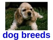 dog breeds  Airedale  I rish —