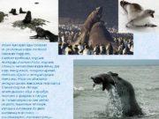 Фауна Антарктиды состоит из различных видов тюленей