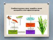 Симбиотикалық емес аэробты және анаэробты азотофиксаторлар  Аммонификация