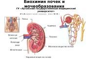 Биохимия почек и мочеобразования ГУ «Луганский государственный медицинский