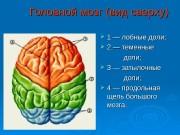 Головной мозг (вид сверху)  1 — лобные