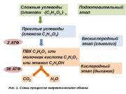Сложные углеводы (гликоген -(С 6 Н 11 О